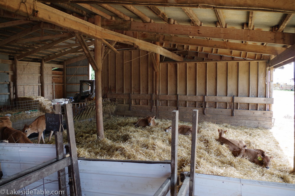 large sunny pen with resting calves