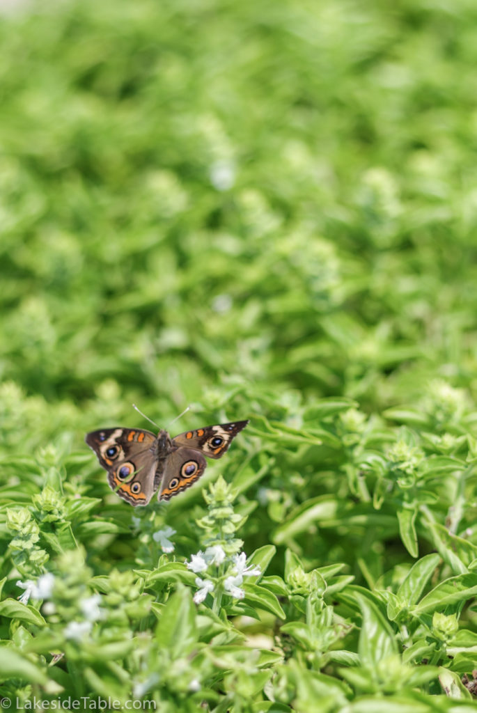Butterfly in a mass of basil from LEAF Little Egypt Alliance of Farmers