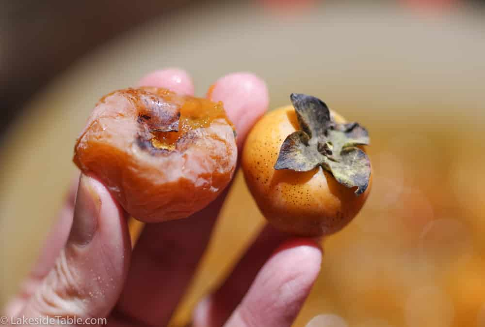 American persimmons, one is very ripe and one is less ripe
