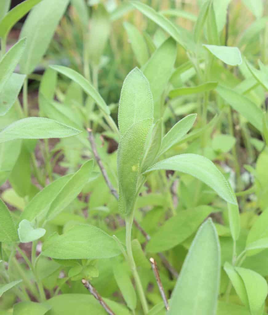 sage growing in herb gardent